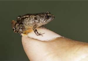 Meet the Miniature Frog that can fit on your Thumb- India Tv