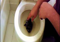 australia snakes search for water in toilets