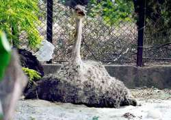 delhi zoo disappointed as ostrich eggs fail to hatch