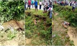 Injured leopard attacks a man clicking pictures