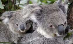 More than 2,000 koalas killed in Australia bushfires