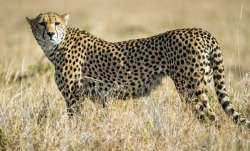Supreme Court allows introduction of African Cheetah in