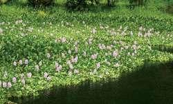 NGO women make 'rakhis' from water hyacinth in West Bengal