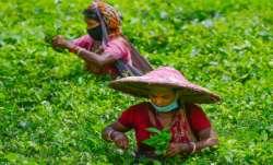 Rare Assam tea sells for ₹ 75,000 per kg at auction