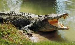 Maharashtra rains, Crocodile, Crocodile sighted, Sangli district, heavy rainfall, Maharashtra latest