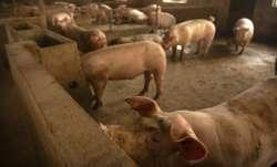 China pigs storage