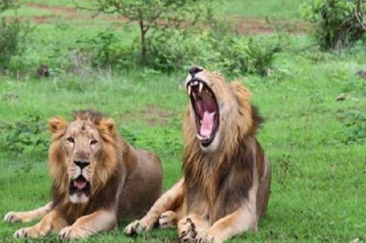 gir forest death of lions
